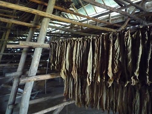 casa_de_tabaco_vegas_robaina_farm_5