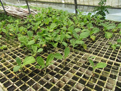 tobacco_plants_at_vegas_robaina_farm_-12