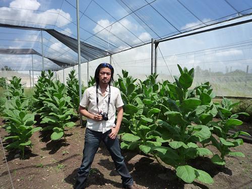 tobacco_plants_at_vegas_robaina_farm_-15