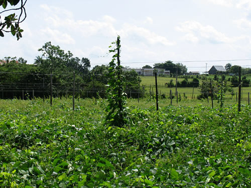 tobacco_plants_at_vegas_robaina_farm_-2