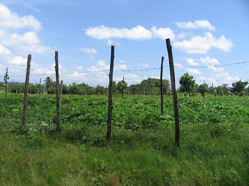 tobacco_plants_at_vegas_robaina_farm_-3