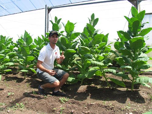 tobacco_plants_at_vegas_robaina_farm_-8
