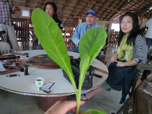 tobacco_plants_at_vegas_robaina_farm