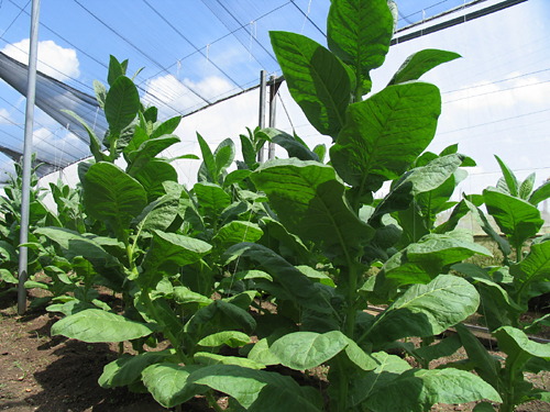 tobacco_plants_at_vegas_robaina_farm_-5